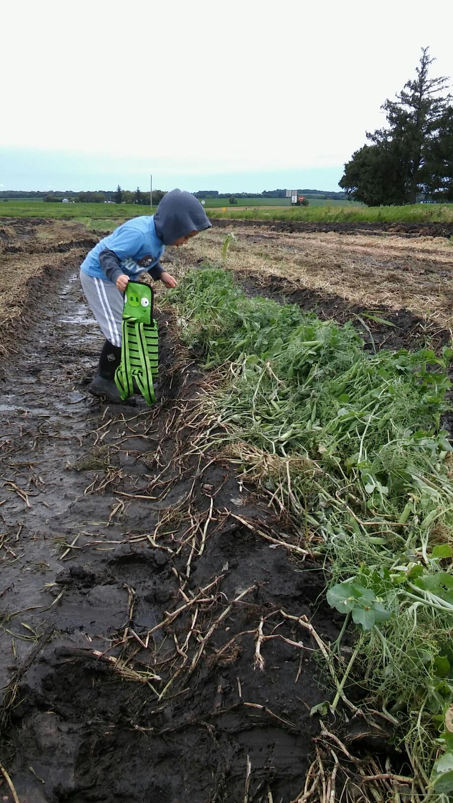 boy gleaning peas in a field